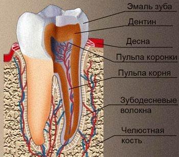 Зубы - строение зубов