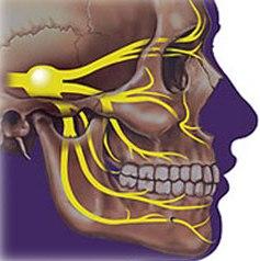 Строение челюстно-лицевой области